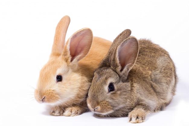 Dois pequeno coelho vermelho fofo
