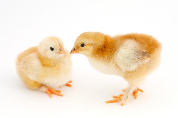 Dois, pequeno, galinhas, um, sobre, fundo branco