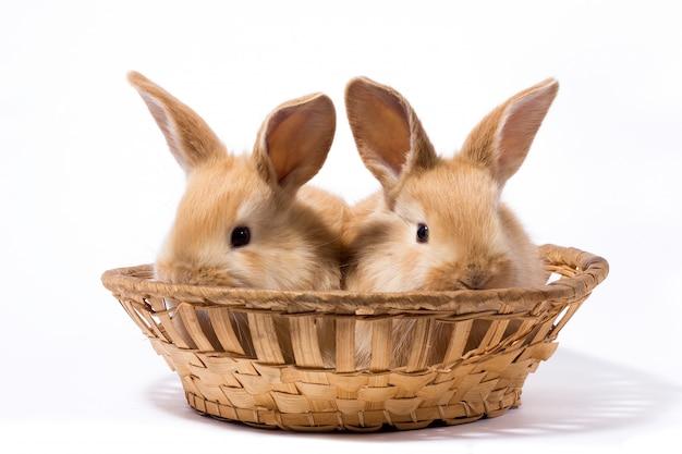 Dois, pequeno, macio, vermelho, coelhos, cesta, isolado, coelhinho páscoa