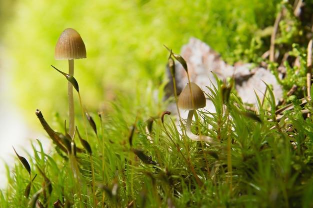 Dois pequenos cogumelos lamelares em um musgo verde em uma floresta leve, foco suave