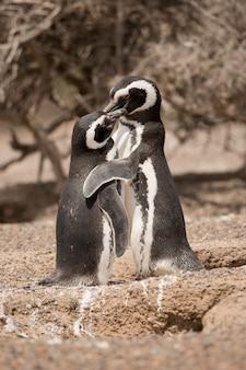 Dois pinguins de magalhães em pé na frente de seu ninho