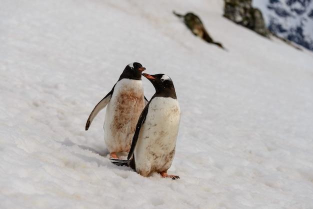 Dois pinguins gentoo na neve