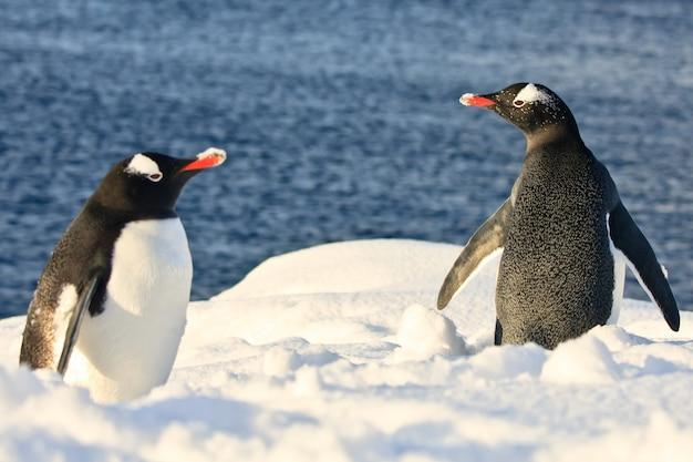 Dois pinguins