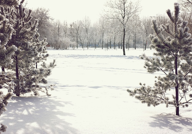 Dois pinheiros no inverno com neve e copie o espaço para o seu texto entre as árvores.