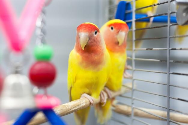 Dois pombinhos coloridos. cores vermelhas e amarelas. animais de estimação tropicais.