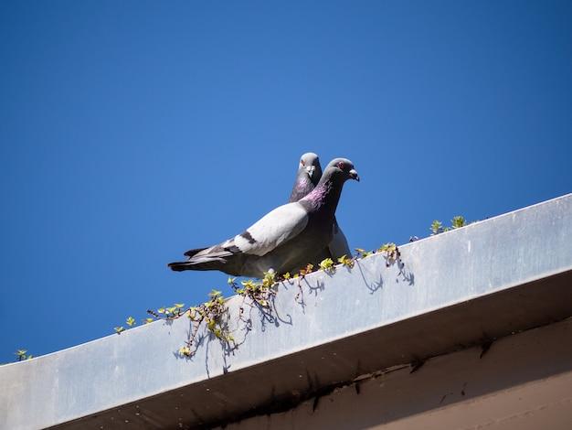 Dois pombos descansam nos telhados com céu azul