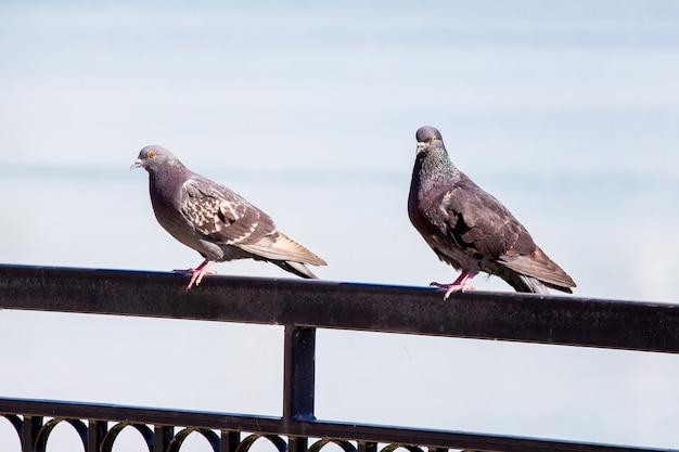 Dois pombos sentam-se em uma cerca em um parque perto do rio_