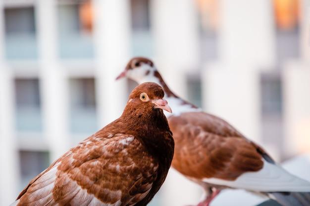 Dois pombos vermelhos castanhos na varanda