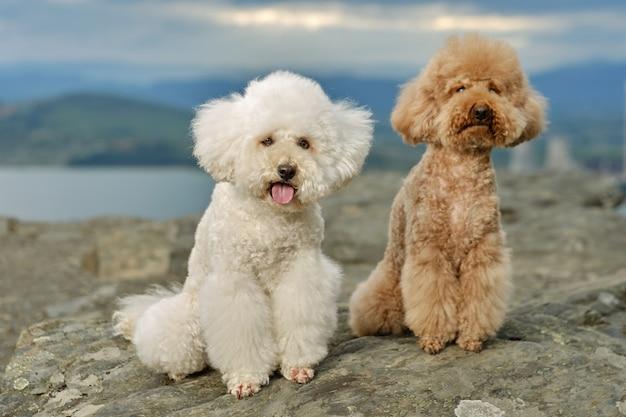 Dois poodles no topo de uma montanha com um lago atrás
