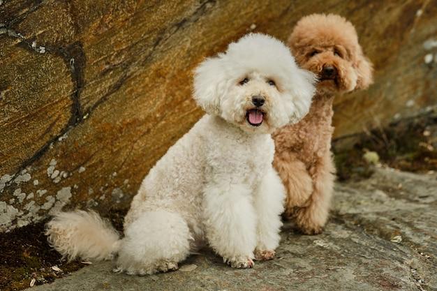 Dois poodles sentados à sombra nas rochas