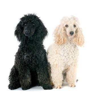 Dois poodles