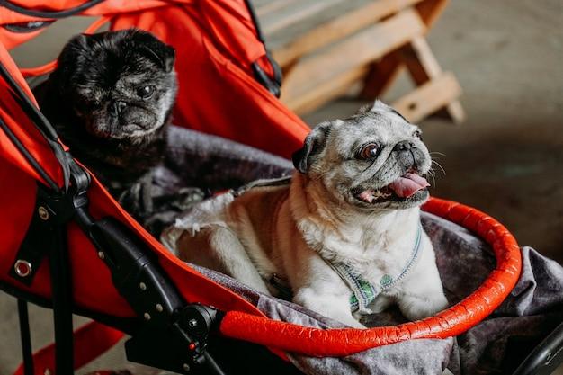 Dois pugs adultos em um carrinho de bebê vermelho. pug preto e cinza em um dia de verão