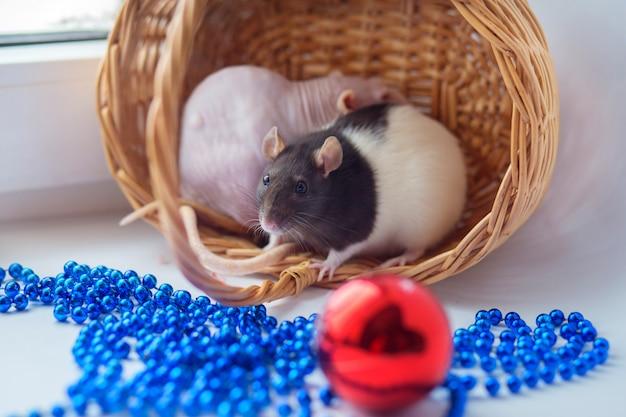 Dois ratos decorativos domésticos sentar em uma cesta wattled e jogar