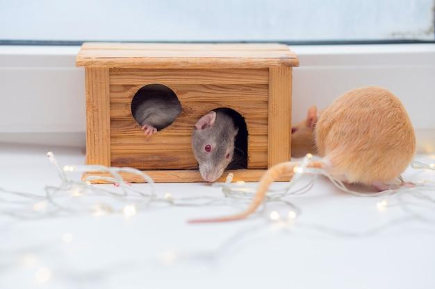 Dois ratos domésticos brincam com uma pequena cabana de madeira