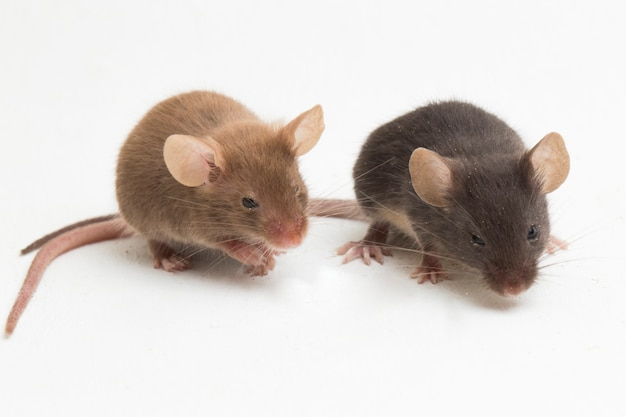 Dois ratos domésticos pretos cinzentos isolados