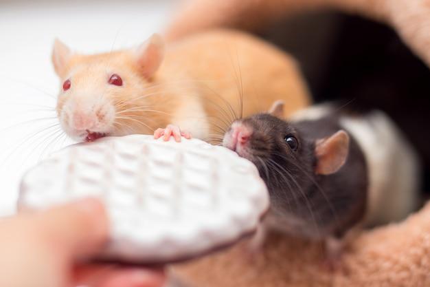 Dois ratos domésticos roer bolinhos de mãos.