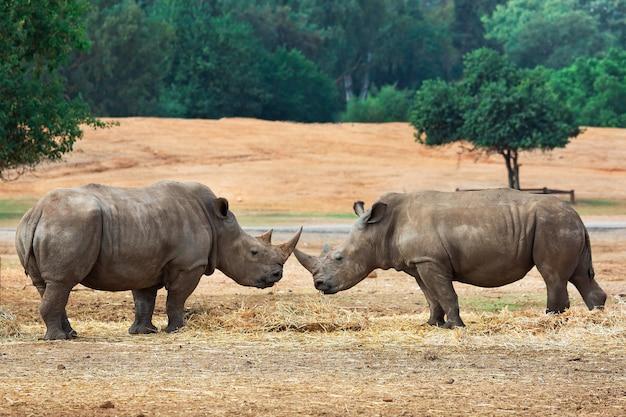 Dois rinocerontes brigam por território