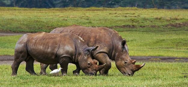 Dois rinocerontes estão caminhando na grama do parque nacional.