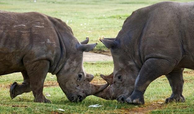 Dois rinocerontes estão lutando um com o outro.