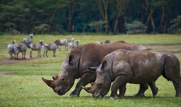 Dois rinocerontes na savana.