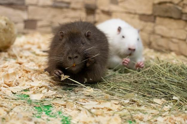 Dois roedores com dentes amarelos estão sentados entre o feno