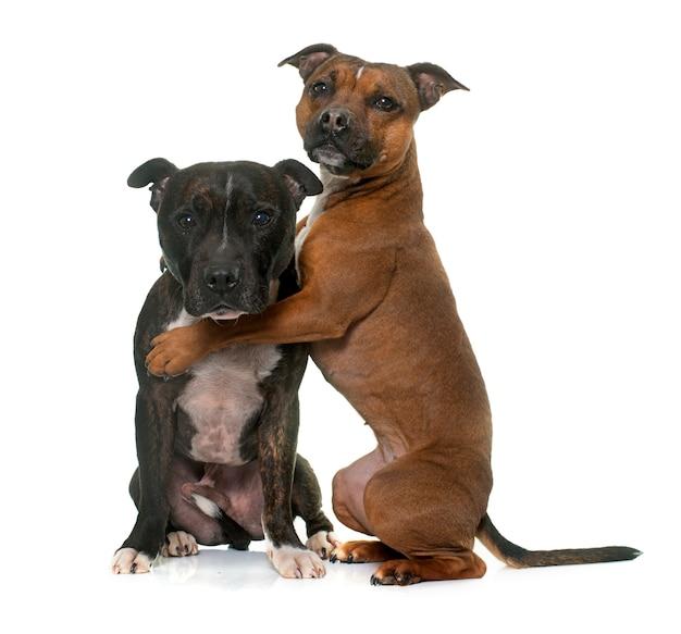 Dois staffordshire bull terrier