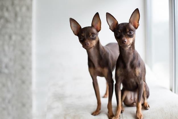 Dois terriers de brinquedo muito bonitos sentam-se lado a lado e olhando