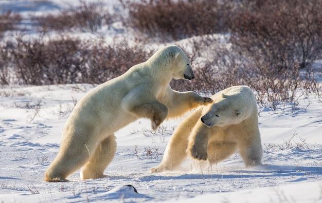 Dois ursos polares brincando um com o outro na tundra. canadá.
