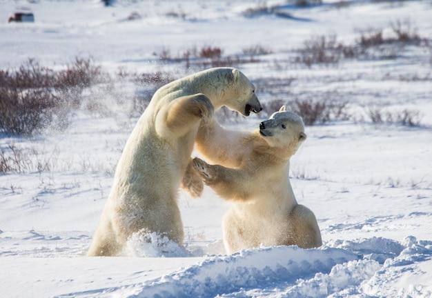 Dois ursos polares brincando um com o outro na tundra.