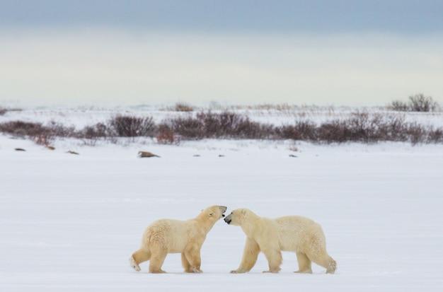 Dois ursos polares estão brincando um com o outro na tundra. canadá.