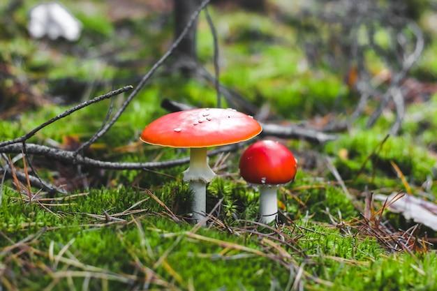 Dois venenosos cogumelos amanita com tampas vermelhas em musgo verde. perigo agárico para os colhedores de cogumelos.