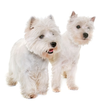 Dois west highland white terrier