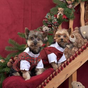 Dois yorkshire com uma jaqueta escocesa posando em decorações de natal