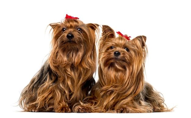 Dois yorkshire terriers em frente a uma parede branca