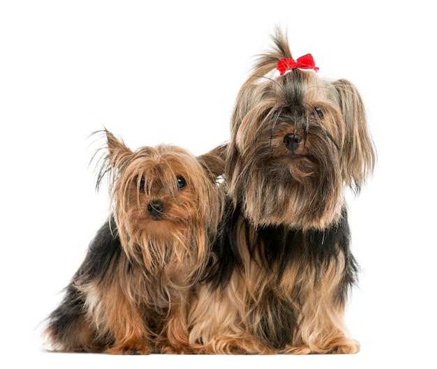 Dois yorkshire terriers sentados em frente a uma parede branca