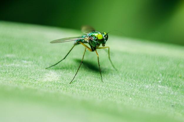 Dolichopodidae nas folhas são pequenas, corpo verde.