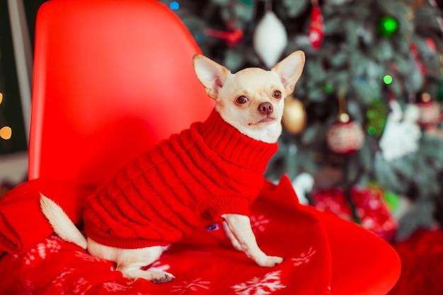 Dom cachorro longhair minúsculo vestido