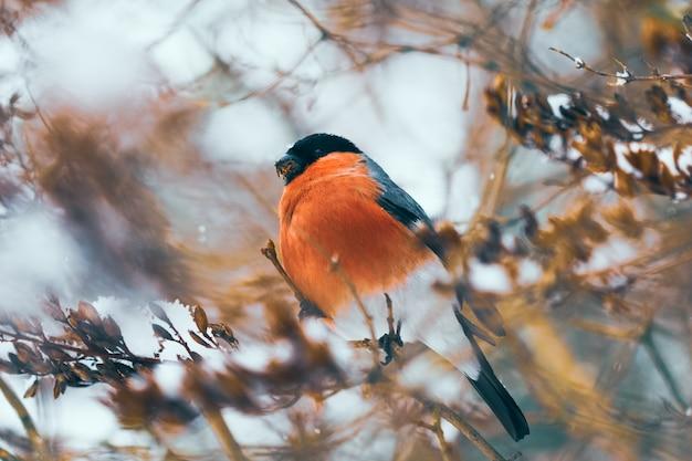 Dom-fafe pássaro alimenta-se de sementes de um bosquímano no inverno