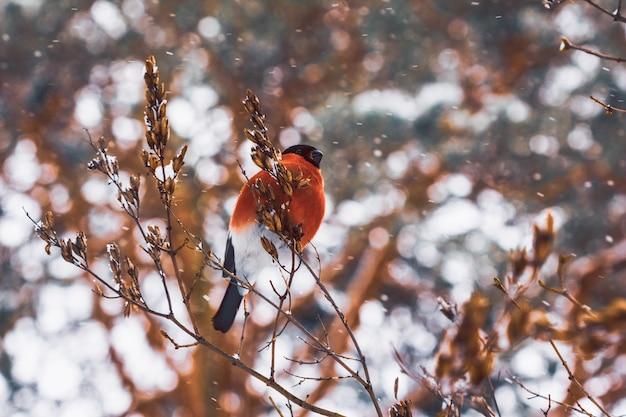 Dom-fafe pássaro bonito na natureza
