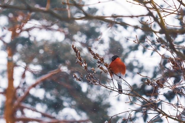 Dom-fafe pássaro com plumagem vermelha em galhos de árvores