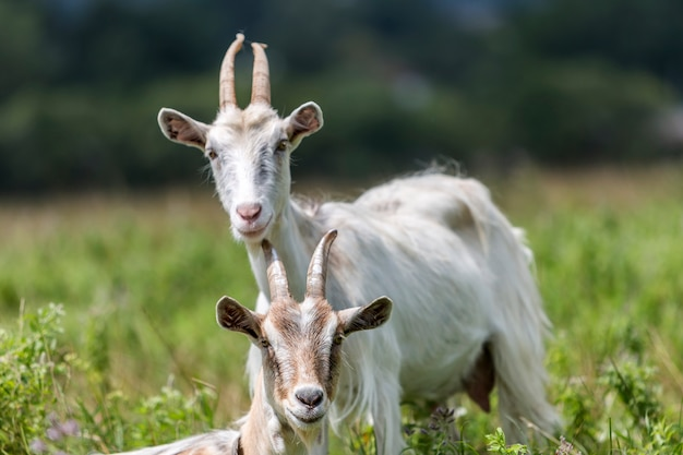 Domésticas cabras com chifres longos no dia de verão quente ensolarado ensolarado pastando em campos gramados verdes.