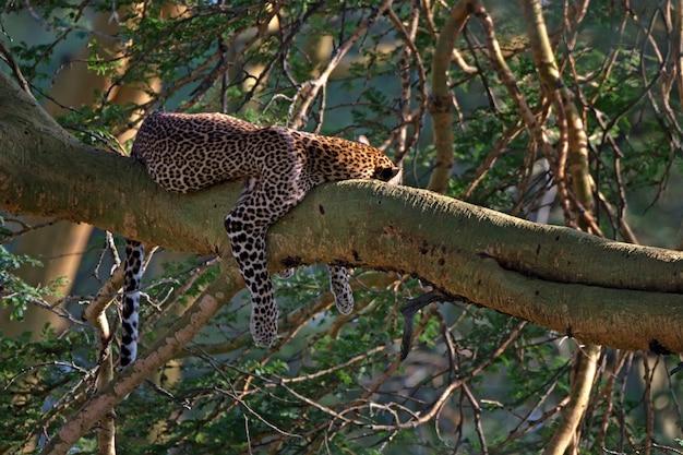 Dormindo leopardo selvagem em uma árvore