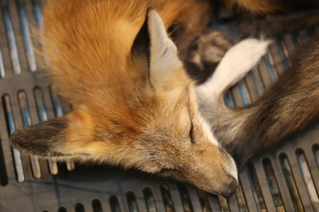 Dormindo raposa vermelha, cabeça