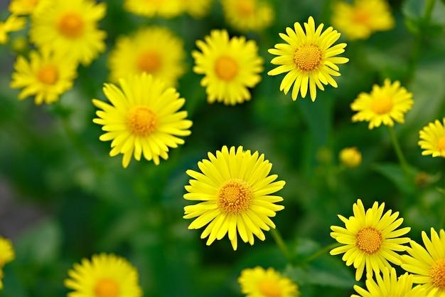 Doronicum em um canteiro de flores no jardim. close fotografado.