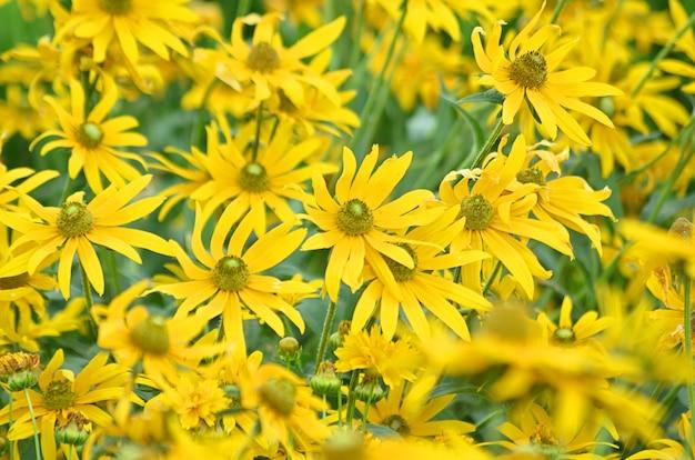 Doronicum orientale ou flores da perdição do leopardo da família asteraceae ou compositae, floresce nos campos na primavera e no início do verão