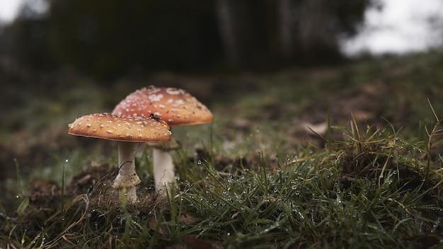 Dose de cogumelos agáricos com mosca