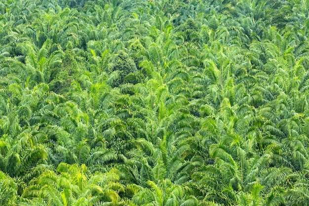 Dossel verde de palmeiras densas.