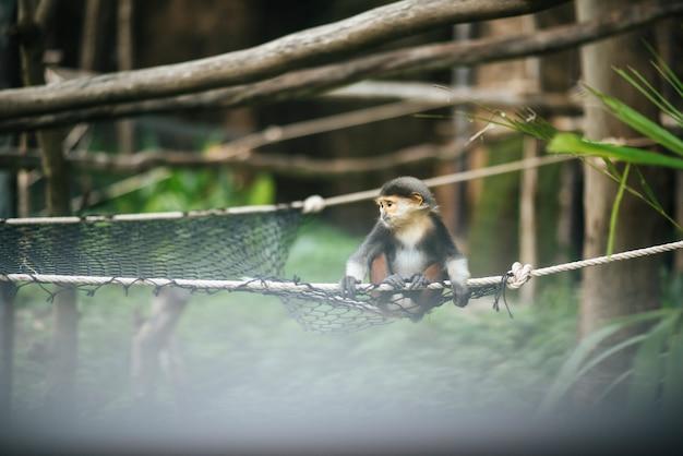 Douc ruivo no zoológico. conceito de animais.