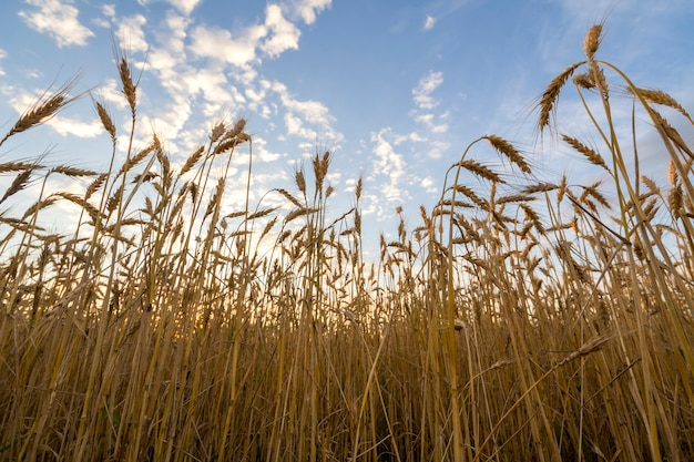 Dourado maduro para a colheita de campo de trigo