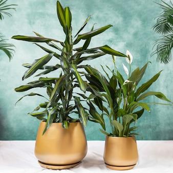 Dracaena fragrans cintho e peace lily plantam em um pote dourado